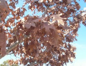 The leaves of winter