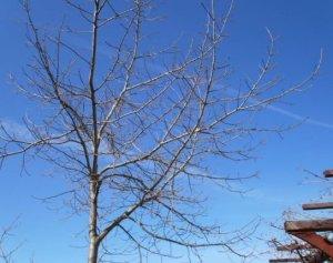 My naked oak
