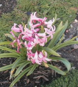 The pink hyacinth