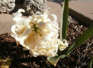 The yellow hyacinth