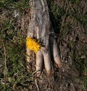 Lani Longshore ringed root