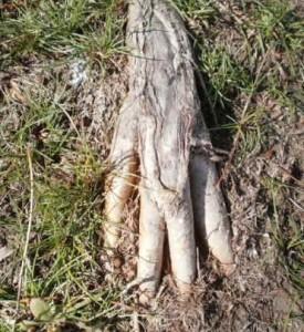 Lani Longshore ash root