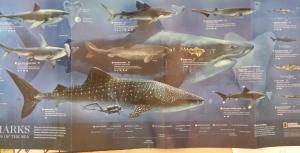 Lani Longshore shark chart