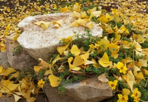 Lani Longshore gingko leaves on rock