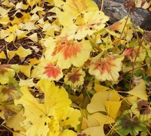 Lani Longshore gingko variegated